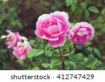 Stock photo dark pink roses in a garden 412747429