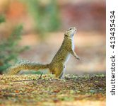 tree squirrel preparing to jump ... | Shutterstock . vector #413435434