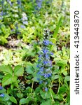 Small photo of Carpet bugle weed (ajuga reptans) flower spikes in the spring garden