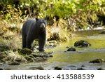 Black bear  ursus americans   ...