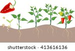 pepper growing stage | Shutterstock . vector #413616136