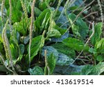 green plantain plants in growth ...   Shutterstock . vector #413619514
