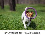 Stock photo little jack russell puppy running with puller toy in teeth in green park cute small domestic dog 413693086