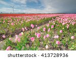 Pink  Red Tulip Field And...