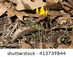 Lone Trout Lily Growing Amongs...