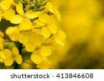 Field Of Yellow Mustard Seed...