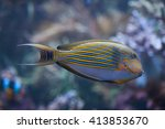 Small photo of Blue banded surgeonfish (Acanthurus lineatus), also known as the zebra surgeonfish. Wild life animal.
