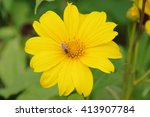Yellow Daisy Flower With A Bee...
