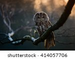 Portrait Of A Tawny Owl  Strix...