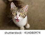 Brown And White Tabby Cat...