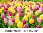 Pink  Purple And  Yellow Tulip...