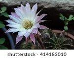 Night Blooming Cereus Cactus...