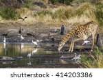 giraffe in kruger national park ... | Shutterstock . vector #414203386