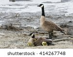Canada Goose Family in the marsh at Horicon Marsh National Wildlife Refuge.