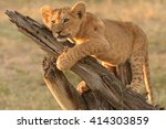 Lion Cub On Log  Panthera Leo