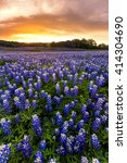 beautiful bluebonnets field at... | Shutterstock . vector #414304690
