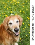 happy golden retriever  | Shutterstock . vector #414310684
