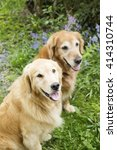 happy golden retrievers | Shutterstock . vector #414310744