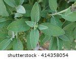 salvia officinalis leafs