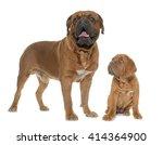 Bordeaux Mastiff  Adult And...