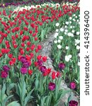 Bright spring tulips on the flowerbed in city park - stock photo