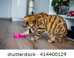 Stock photo beautiful bengal cat playing with a toy 414400129