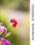Carnation Flowers  Pink...