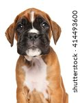 Stock photo funny boxer puppy portrait isolated on white background 414493600
