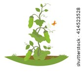 Pea Shrub With Fruits. Vector...