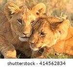Lion Cub Love  Panthera Leo
