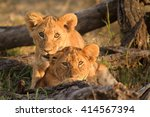 Curious Lion Cubs  Panthera Leo