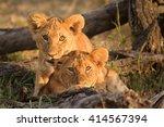 Curious Lion Cubs  Panthera Leo