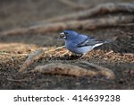 The Tenerife Blue Chaffinch ...