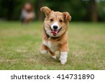 Stock photo running pembroke welsh corgi dog on green grass 414731890