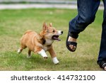 Stock photo pembroke welsh corgi dog running and chasing a leg of a running man on green grass 414732100