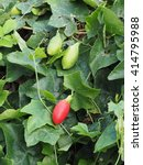 Small photo of ivy gourd green leaves background.coccinia grandis. leaves as vegetables,thai spinach, or tindora
