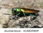 agrilus planipennis   emerald... | Shutterstock . vector #414839809