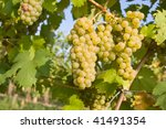 bunch of ripe grapes on... | Shutterstock . vector #41491354