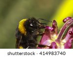 Bee Pollinating An Aquilegia...