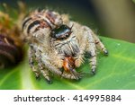 Jumping Spider   Jumping Spide...