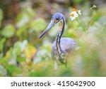 little blue heron in florida... | Shutterstock . vector #415042900