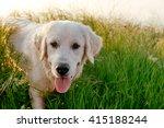 Labrador Retriever Dog Walking...