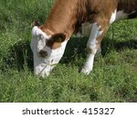 cow in a field closeup | Shutterstock . vector #415327