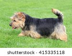 Typical  Norfolk Terrier   In...