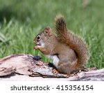 American Red Squirrel Eating...