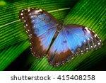 blue morpho  morpho peleides ... | Shutterstock . vector #415408258