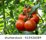 A Ripe Tomato Branch In Your...