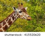 giraffe camelopardalis   young... | Shutterstock . vector #415520620