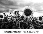 Sunflower In A Field And Dark...