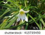 white rain lily | Shutterstock . vector #415735450